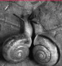 """Un couple d'escargots, à gauche le """"dextre"""", à droite le """"senestre"""" rarissime"""