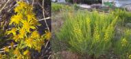 Dittrichia viscosa, une plante répandue dans tout le bassin méditerranéen, source de composés biologiquement actifs aux propriétés multiples : antiinflammatoire, antiseptique, antipyrétique et antioxydante.