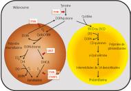Deux types de mélanine : l'eumélanine (à gauche en marron) photoprotectrice et la phéomélanine (à droite en jaune-orange) phototoxique.