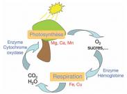 Le cycle d'interdépendance entre organisme vivant et nature, entre respiration et photosynthèse : il n'y a pas de vie sans métaux !