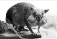 Les « rats de Gambie » peuvent être utilisés pour le diagnostic de la tuberculose.