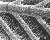 Détail d'une branche d'antenne du Bombyx du murier. La surface des antennes est recouverte de poils cuticulaires : les sensilles.
