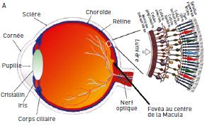 Structure de l'oeil avec une coupe de la rétine.