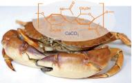 La carapace de crustacés tels que le crabe est un matériau hybride constitué de chitine (partie organique, en orange) et de carbonate de calcium CaCO3 (partie minérale).