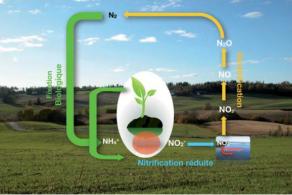 Cycle de l'azote avec réduction du « priming effect » et stockage accru du carbone dans le sol grâce aux exsudats et litières riches en azote.