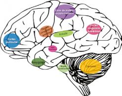 La transmission et l'intégration du message de douleur implique une série de centres nerveux dont le fonctionnement peut être modifié en situation de douleur pathologique du fait de la neuroplasticité.